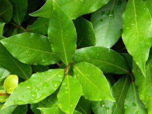 ритуалы на желания с лавровым листом